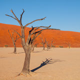 Dead acacia tree in Deadvlei Stock Photography