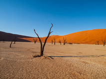 Dead acacia tree in Deadvlei Royalty Free Stock Photography