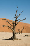 Dead acacia tree in desert. Dead Vlei, Namibia Stock Images