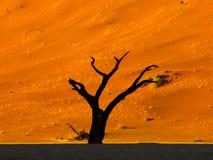 Dead acacia tree silhouette Royalty Free Stock Photos