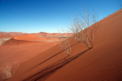 Dead Acacia Trees At Dead Vlei, Namib Desert Stock Photography