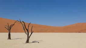 Dead Acacia trees in DeadVlei. Sossusvlei, Namibia royalty free stock image