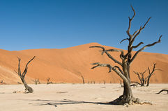 Dead acacia trees in desert. Dead Vlei, Namibia royalty free stock image