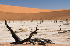 Dead acacia trees in desert. Dead Vlei, Namibia Royalty Free Stock Photos