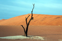 Dead Acacia Trees In Desert Stock Photo