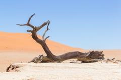 Dead acacia trees and red dunes of Namib desert. Deadvlei (Sossusvlei), Namibia royalty free stock photos