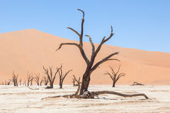 Dead acacia trees and red dunes of Namib desert. Deadvlei (Sossusvlei), Namibia royalty free stock photography