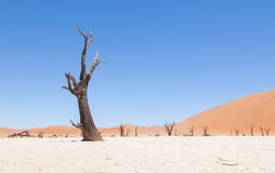 Dead acacia trees and red dunes of Namib desert Royalty Free Stock Photo