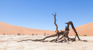 Dead acacia trees and red dunes of Namib desert. Deadvlei (Sossusvlei), Namibia Royalty Free Stock Images