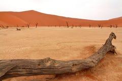 Dead acacia trees. Sossusvlei: dead acacia trees in the Namib Desert, Namibia royalty free stock photo