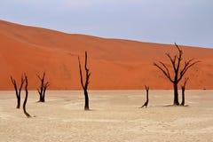 Dead acacia trees. Sossusvlei: dead acacia trees in the Namib Desert, Namibia stock images