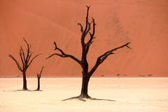 Dead acacia trees. Sossusvlei: dead acacia trees in the Namib Desert, Namibia stock photography