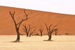 Dead acacia trees. Sossusvlei: dead acacia trees in the Namib Desert, Namibia stock photo