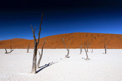 Dead acacia trees in Sossusvlei Pan, Namibia Stock Photography