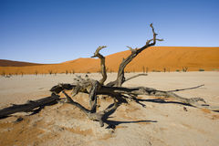 Dead Acacia in the Vlei - Sossusvlei - Namibia. Dead vlei in the Sossusvlei desert in Namibia royalty free stock photo