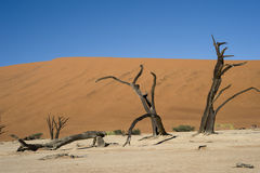 Dead Acacia in the Vlei - Sossusvlei - Namibia Stock Image