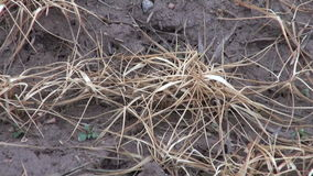 Dead agriculture crop sprouts on farm field in spring after winter stock video