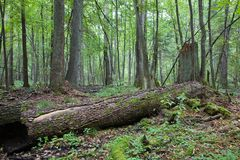 Dead alder tree trunk. Old dead alder tree trunk lying on ground in fresh deciduous forest stock photography