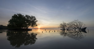 Dead and alive mangrove trees. At the beach swamp with burning sky sun rise , blur background royalty free stock images