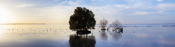 Dead and alive mangrove trees at the beach swamp Stock Image