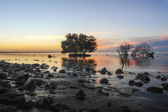 Dead and alive mangrove trees at the beach swamp Stock Photo