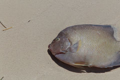 Dead Anglefish in Sand Stock Photos