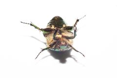 Dead Animal Beetle Royalty Free Stock Images