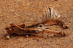 Dead animal in drought. Dead animal - Harsh reality of drought Royalty Free Stock Photography