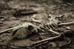 Dead animal skeleton. On florest Stock Photography