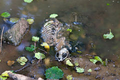 Dead Animal Skeleton. Lay in river Royalty Free Stock Image