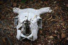 Dead Animal, Skull Bones, Skeleton. A dead animal, skull bone from the head of a skeleton.  Mammal - garden centerpiece royalty free stock images