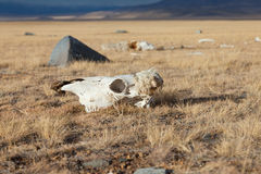 Dead animals. In the mongolia steppe Royalty Free Stock Images