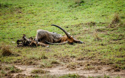 Dead Antelope carcass laying in the grass in Uganda.  Royalty Free Stock Images