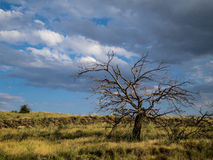 Dead Apricot Tree in a Field with Clouds. A lone dead apricot tree stands out in a field with gathering storm clouds Royalty Free Stock Photography