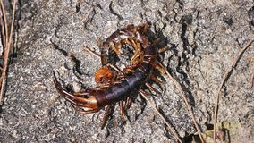 Dead Arthropod. At the Beach in Hawaii stock photography