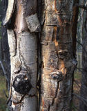 Dead Aspens. Two dead aspen tree truncks in the Arapaho National Forest of Colorado royalty free stock image