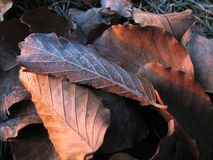 Dead autumn leaves. Dead brown autumn leaves on the ground Royalty Free Stock Photos