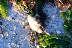 Dead Baby Mallard Duck on Bay Beach Stock Image