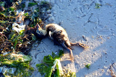 Dead Baby Mallard Duck on Bay Beach Stock Photos