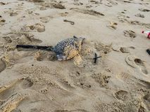 Dead Baby Puffer Fish in the Sands of Karon Beach. A dead baby puffer fish laying in the sands of Karon Beach next to some washed up debris. The fish is pale royalty free stock photos