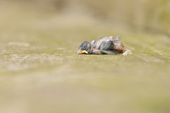 A dead baby robin Royalty Free Stock Photo