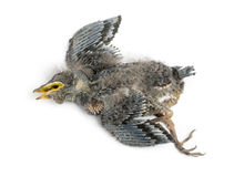 Dead baby Swallow in state of decomposition, Hirundinidae. Isolated on white Stock Image