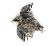 Dead baby Swallow in state of decomposition, Hirundinidae, isola. Ted on white Royalty Free Stock Photo