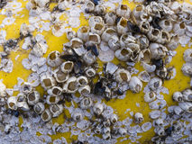 Dead barnacles Stock Photos