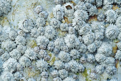 Dead Barnacles Royalty Free Stock Image
