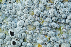Dead Barnacles Royalty Free Stock Images