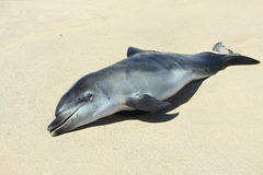 Dead dolphin stranded on beach. Body of a dolphin washed up on a sandy beach Royalty Free Stock Photography