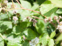 Dead bee caught in web Royalty Free Stock Photo