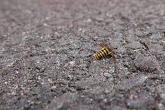 Dead Bee Stock Image