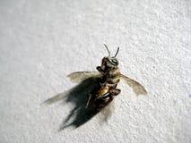 Dead bee Royalty Free Stock Photos